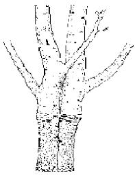 Stark Custom Graft 2N1 Plum  Plum Trees  Stark Brou0027sHow To Graft Fruit Trees With Pictures