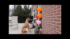 how to stop your dog from jumping on the door using balloons