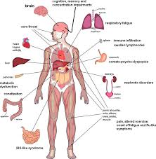 Organs In The Human Body The Involvement Of Human Body Organs In Chronic Fatigue