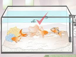 Fantail Goldfish Growth Chart 3 Ways To Tell If Your Goldfish Is An Adult Wikihow
