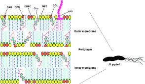 cholesteryl glucosides in h pylori