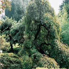 Mulberry Weeping  Pruning Winter Care And Fertilizing  Hawks Teas Weeping Fruiting Mulberry Tree