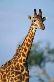 Животный мир Африки Животные Африки журнал Живой Взгляд  Жираф