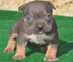 pitbull puppies for