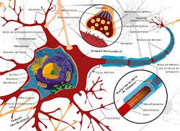 Resultado de imagen de Los parámetros del cerebro para sentir
