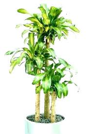 office plants no light. Fine Office Indoor Desk Plants Best Office No Light Six Low For Your O India    For Office Plants No Light