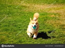 Corgi Dog Running Ball Mouth Grass ...