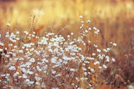 dry grass field background. White Beautiful Flowers In Dry Grass Sunny Vintage Field Background. Autumn Nature Evening Background