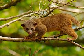 Image result for kinkajou