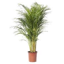 Goudpalm/Areca palm (Dypsis lutenscens) D 24 cm