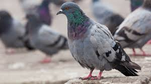 Light Brown And White Pigeon Whats The Difference Between Pigeons And Doves Mental Floss