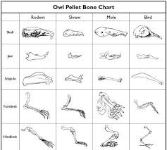 Owl Pellet Activity For Kids Owl Pellets Owl Activities