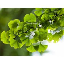 Image result for Ginkgo Biloba