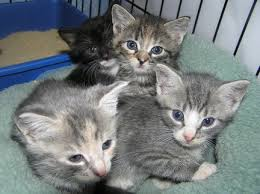 humane society kittens. Interesting Society Courtesy Of Liberty Humane SocietyKittens Like The Ones Shown Here Are In  Need Foster Homes Inside Society Kittens T