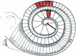 Реферат Теории слуха ru Схема резонансной теории слуха Гельмгольца