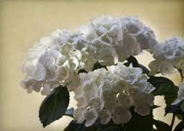 Blooming Shrubs for Virginia Summers