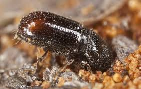 Pine Borer Pine Bark Beetle Control And Treatments For Infected Trees
