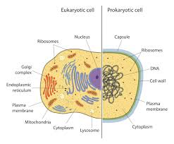 Prokaryotic And Eukaryotic Cells Whats The Difference