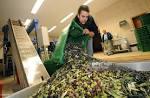 olivegrower