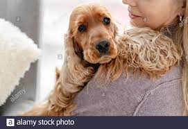 English cocker spaniel dog at home ...