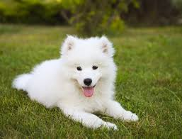 Samoyed Dog Breed Information Pictures Characteristics