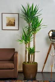 low maintenance office plants. houstonu0027s online indoor plant u0026 pot store large yucca cane tall plantsindoor potsindoor treeslow maintenance low office plants