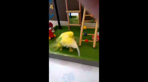 Budgie catches spider and shags it - YouTube