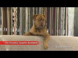 giant carpet flooring centre barrie on we have a huge selection of area rugs carpets floors