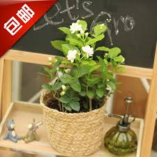 small plants for office. Brilliant Small Potted Plants For Office Jasmine Flowers Indoor Plant Desktop