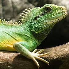 petsmart reptiles for sale. Brilliant Petsmart Water Dragon For Petsmart Reptiles Sale