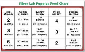 Lab Puppy Food Chart Silver Lab Puppies Charcoal Lab History Images Traits