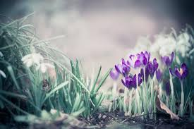 Springtime Nature Background With Pretty Crocuses Stock Photo