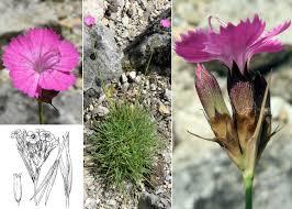 Dianthus carthusianorum L. subsp. carthusianorum - Sistema ...