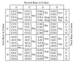 Aminoacid Chart Amino Acid Translation Chart 14 Best Images