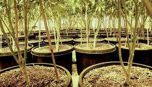 Your Guide To The Perpetual Harvest Cannabis Business Times
