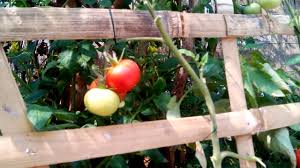 Terrace Kitchen Garden Organic Tomatoes Of My Terrace Kitchen Garden Part 1 Youtube