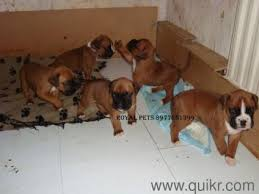 boxer dog puppies for in hyderabad breed dogs picture