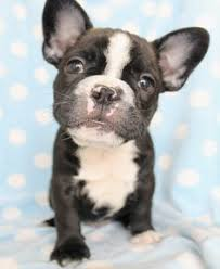 teacup blue french bulldog puppies. Unique Bulldog Teacup French Bulldog Puppies Black With Blue S