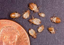 Bed bug sizes Bug Bites The Penny In This Photo Provides Sense Of Scale To The Size Of Bed Bug Usda Bad Bed Bugs Usda
