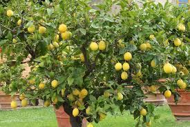 Kumquat  WikipediaKumquat Tree Not Bearing Fruit