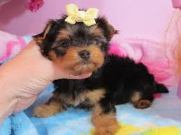 garden city ks cute and lovely yorkie puppies