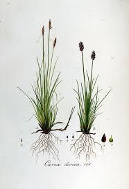 File:Carex dioica — Flora Batava — Volume v6.jpg - Wikimedia ...