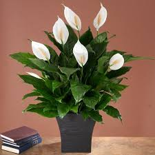 tropical office plants. no light indoor plant house plants u0026 best sellers tropical office l