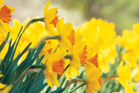 yellow daffodil narcissus pimpernel dream team s portland garden b and becky s bulbs gloucester