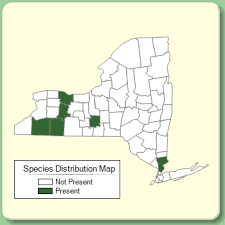 Sclerochloa dura - Species Page - NYFA: New York Flora Atlas
