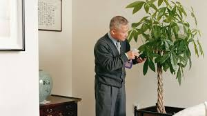 historically houseplants were for rich now chinese money tree purports wealth howstuffworks