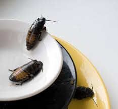 large roaches