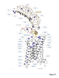 Structural model of the tsh receptor with indication of loss of function mutations