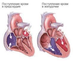 Строение сердца урок Биология Человек класс  Строение сердца png