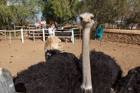 ostrich tours at chandelier game lodge